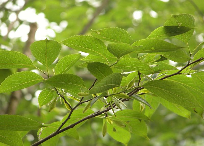杜仲茶是世界上最高质量的天然降压药物