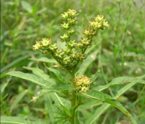 赶黄草的副作用是什么,赶黄草有哪些副作用
