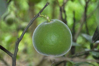 化橘红对治疗咳嗽和慢性咽炎效果好吗?