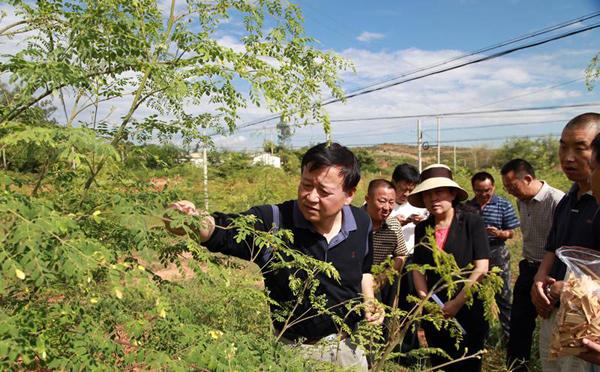 楚雄州委常委、副州长任锦云率队调研元谋辣木产业