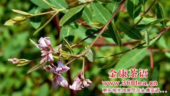金康茶语拍摄影的罗布麻嫩叶与茶