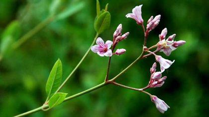 罗布麻植物