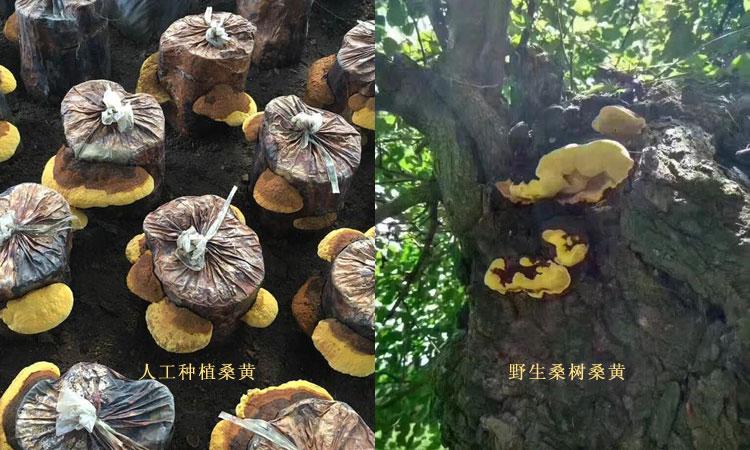 人工种植桑黄和野生桑树桑黄生长环境图片