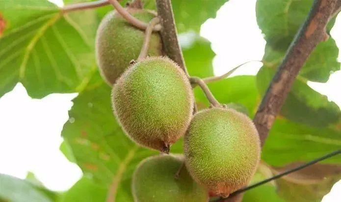 藤梨根的功效与作用之清热解毒,活血消肿